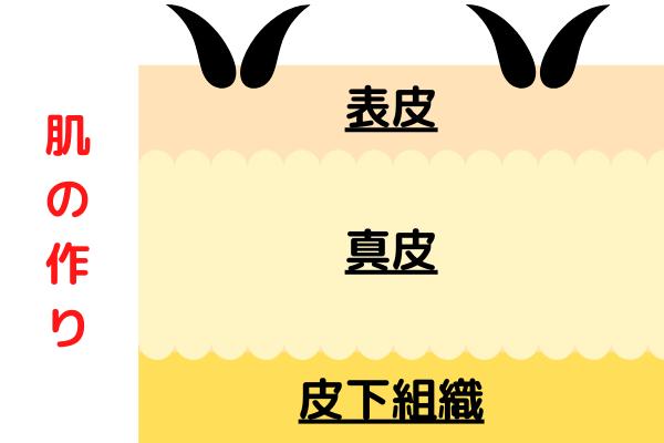 肌の作りの図